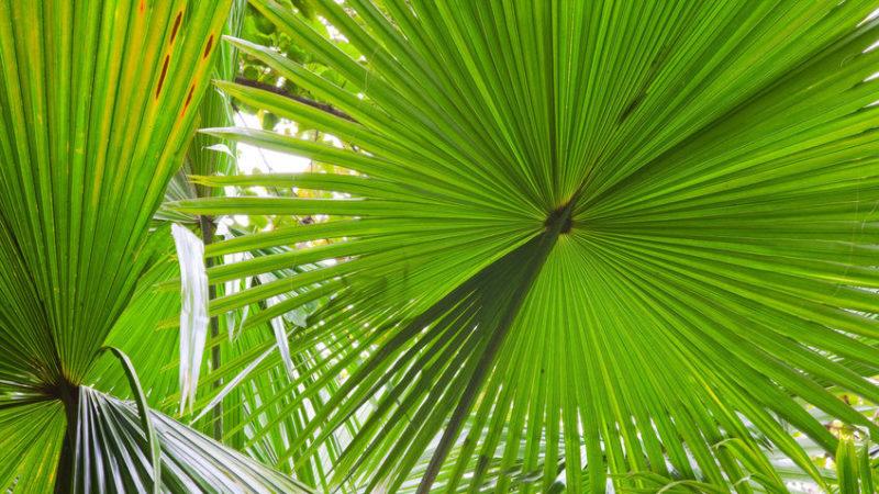 palm tree leaves -florida pergola